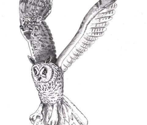 Grand Duc (long-eared owl)